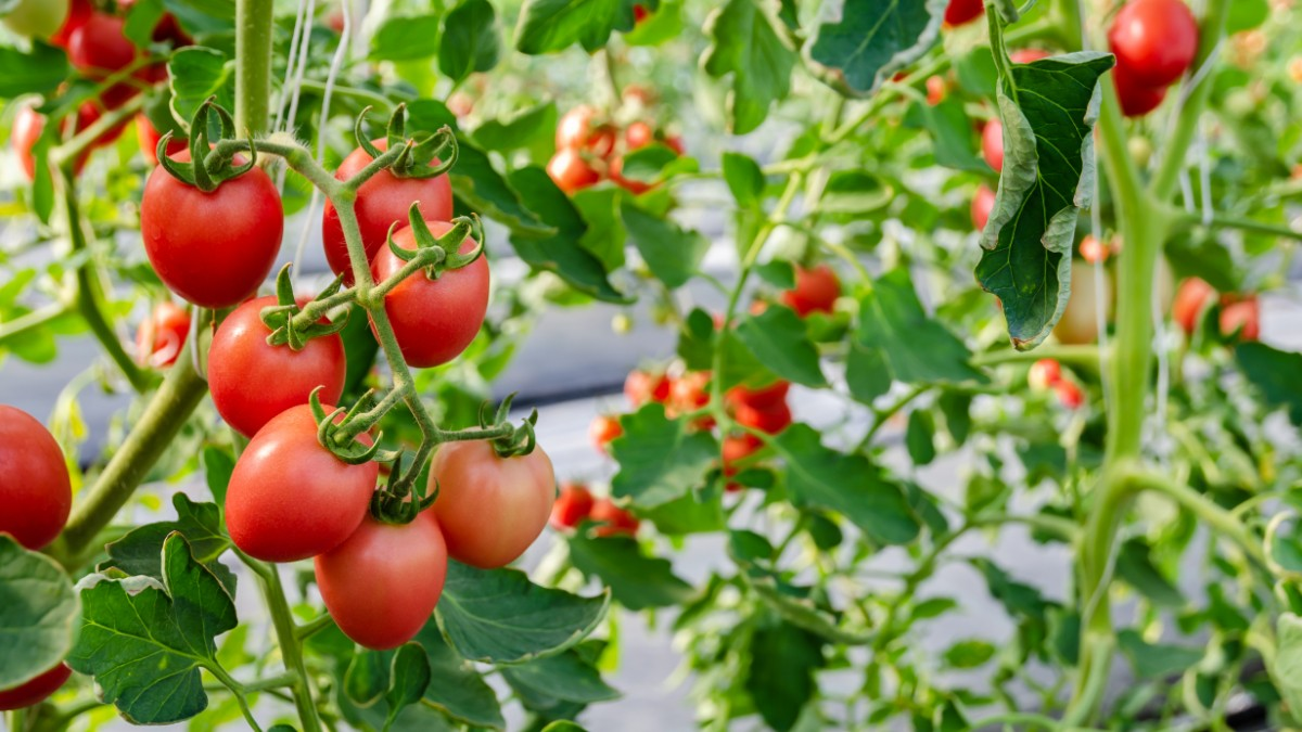 Organic Gardening Tips for Best Tomato Crops